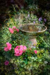 Bird Bath and roses (judy dean) Tags: judydean 2019 garden texture ps roses birdbath water cranesbill leaves undergrowth pink green
