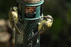 Great Tits (oddbodd13) Tags: bird tit greattit feeder