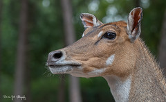 Elandantilope (Borreltje.com) Tags: beeksebergen dierentuin safari animals animal dieren dier nikon photography elandantilope