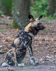 BVG_9248 (Borreltje.com) Tags: beeksebergen dierentuin safari animals animal dieren dier nikon photography