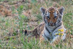 BVG_8162-2 (Borreltje.com) Tags: beeksebergen dierentuin safari animals animal dieren dier nikon photography