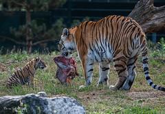 BVG_8085-2 (Borreltje.com) Tags: beeksebergen dierentuin safari animals animal dieren dier nikon photography