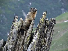 Marmotta che si finge una roccia per passare inosservata (ladigue_99) Tags: marmotta alpinemarmot passodellanovena nufenenpass chilchhorn svizzera swtzerland ticino uri