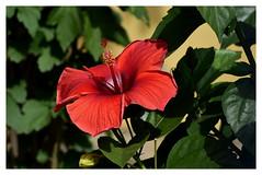 _DSC3846 (SHAN DUTTA) Tags: nikon hibiscus shoeflower red nikond5300 nature