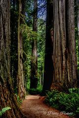 Redwood National Park California (Pattys-photos) Tags: redwoodnationalpark california pattypickett4748gmailcom pattypickett