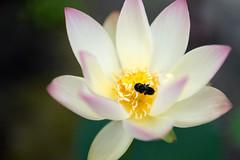 Lotus (walkkyoto) Tags: 蓮 lotus 大蓮寺 dairenji 寺 temple 京都 kyoto 日本 japan 30mmf14dchsmart