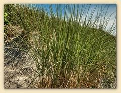 Dünengras-Langeoog (Jürgen von Riegen) Tags: beach clouds strand landscape island deutschland wolken insel ostfriesland landschaft langeoog germany lumix fourthirds mirrorless micro43 lumixg9 green grass gras grün dünen