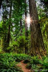Redwood National Park California (Pattys-photos) Tags: redwoodnationalpark california