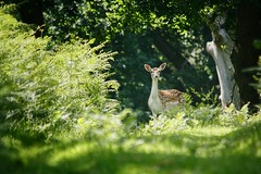 Spotted (ianderry64) Tags: leaves leaf trees foliage hiding hind leicestershire park bradgate curious wildlife nature shade sun copse spinney wood fallow deer