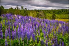 En invasiv art (Jonas Thomén) Tags: lupiner lupines flower blomma flowers blommor slalombacke slalomslope clouds moln skog forest woods bergö edsevö