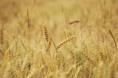 Summer Seeds (tanyalinskey) Tags: meadow field summer seeds grass oats wheat barley