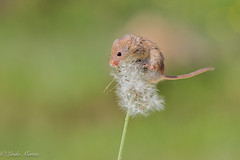Harvest Mouse (Linda Martin Photography) Tags: newforest hampshire micromysminutus captivelight dandelion harvestmouse nature animal coth naturethroughthelens coth5 ngc alittlebeauty specanimal npc