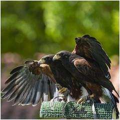 Abrazo (javiblue25) Tags: eagle aves averapaz aguila aragón monasteriodepiedra bird wildlifephotography