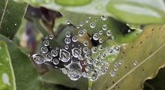 Tiny water droplets.... (markwilkins64) Tags: nature waterdroplets droplets water leaves depthoffield dof tiny small macro markwilkins bokeh bayleaves