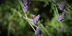 bee (Bushcraft.Eure) Tags: eure normandie valleedeleure arbre normandy paysage wildlife green tree nature sony light forêt bois sonye calme sonya6000 epz18105mmf4goss 18105mm bee bees abeille sel18105g ilce6000 lavande lavandula lamiaceae apis mellifera européenne avette mouche à miel moucheàmiel abeilleeuropéenne apismellifera