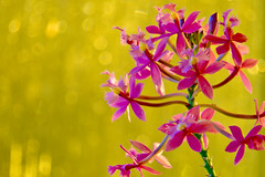 Fire Star Orchid (59ling) Tags: orchid afternoon sunset golden firestar bokeh closeup sony a6500