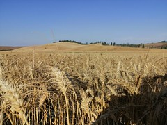 The threshing of the fields. For Tuscany this is not just a job, but is seen as a real feast because it symbolizes the fertility of the soil! 🌾 . . . #like #follow #share #comment #subscribe #castelnuovodellabate #montalcino #borghettomontalci (borghettob) Tags: valdorcia like subscribe tuscany castelnuovodellabate follow borghettomontalcino santantimo italia montalcino share comment tuscanygram italy