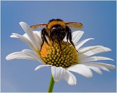 Erdhummel (robert.pechmann) Tags: hummel insekt blüte erdhummel bombusterrestis robert pechmann macro makro nikkor flower