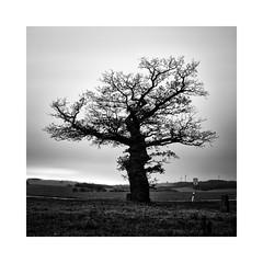 Grenzeiche Dudenhausen (roemart) Tags: landschaft landschafts landscape minimalismus minimal stillleben stilleben still stills stillife baum bäume trees
