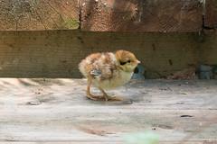 Oisillon (?), chick - Québec, PQ, Canada - 3325 (rivai56) Tags: oisillon québec pq canada 3325 chick the beauty young bird oiseau marche cute