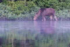''A la bouffe!'' Orignal-Moose (pascaleforest) Tags: water eau lac canada quebec passion nikon faune wildlife wild nature animal