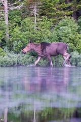 ''Impressionant!'' Orignal-Moose (pascaleforest) Tags: canada québec passion nature nikon faune wildlife wild animal