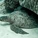 Scuba Dive Lady Elliot Island-4