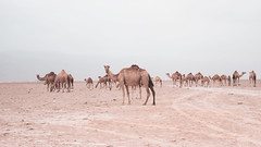 Chilling (Jia9) Tags: camels wildlife outdoors desert traveling travelphotography nature naturephotography sky cloudy weather mountains oman salalah