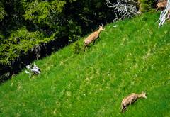 20190625 120549 Bärentrek (43 von 76) (chrhuber) Tags: 2019 5tag alpen bern bärentrek griesalpaabebergkiental reh schweiz urlaub viaalpina wandern wandertour kiental kantonbern