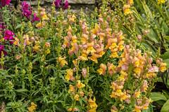 Mum's Garden 07-07-2019 56 (Matt_Rayner) Tags: snapdragon mumsgarden flower
