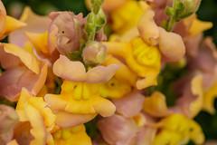 Mum's Garden 07-07-2019 49 (Matt_Rayner) Tags: snapdragon mumsgarden flower