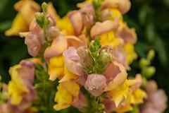 Mum's Garden 07-07-2019 48 (Matt_Rayner) Tags: snapdragon mumsgarden flower