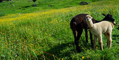 20190625 095429 Bärentrek (39 von 76) (chrhuber) Tags: 2019 5tag alpaka alpen bern bärentrek griesalpaabebergkiental schweiz urlaub viaalpina wandern wandertour kiental kantonbern