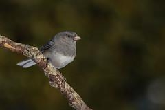 Junco ardoisé/Dark-eyed junco (jean-francoislavallée) Tags: juncoardoisé darkeyedjunco oiseau bird aves nature wildlife quebec canada nikon sigma