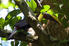 Black-Mandibled Toucan (Byron Taylor) Tags: blackmandivledtoucan toucan birds wild wildlife nature costarica manuelantonio nationalpark canon canon7d
