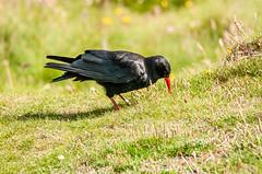 Ang2019_DSC1950 (Nick Woods Photography) Tags: chough bird wildbird corvid corvids corvidae black redlegs redbeak rspb rspbreserve anglesey southstack