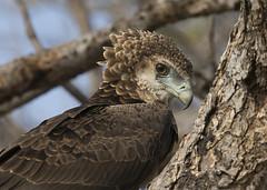 Juvenile Bataleur Eagle South Luangwa TY_BB0T6398 (YOYO182) Tags: brownsnakeeagle eagle southluangwa zambia africa raptor birdofprey