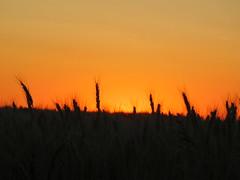 Getreidefeld vor schöner Kulisse (elisabeth.mcghee) Tags: getreidefeld getreide wheat wheatfield sonnenuntergang sunset abendhimmel himmel sky ähren earbot oberpfalz upperpalatinate orange grannen