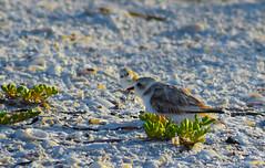 Hen and Chick (karanjensen) Tags: snowyplover florida sunshinestate sunrise hatching endangered birds floridausa sanibel sancap lighthousepoint shellisland