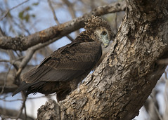 Juvenile Bataleur Eagle South Luangwa TY_BB0T6400 (YOYO182) Tags: brownsnakeeagle eagle southluangwa zambia africa raptor birdofprey