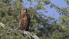 Brown Snake Eagle South Luangwa TY_BB0T3672 (YOYO182) Tags: brownsnakeeagle eagle southluangwa zambia africa raptor birdofprey
