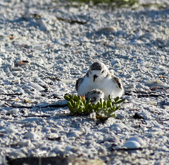 Tucked back in, checking on next egg, which was hatched the next morning 7-7-19 (karanjensen) Tags: snowyplover florida sunshinestate sunrise hatching endangered birds floridausa sanibel sancap lighthousepoint shellisland