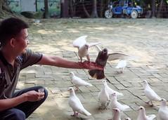 P1091238_LR (enno7898) Tags: panasonic lumix lumixg9 dcg9 olympus mzuiko 1240mm f28 animal pigeon
