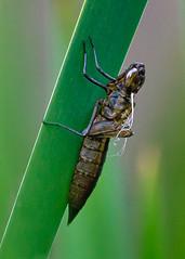 Escapee (oldbourbonguy) Tags: beyerspond bigcreekreservation clevelandmetroparks dragonfly exoskeleton nymph ohio berea unitedstatesofamerica