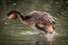 Its a Grebe thing ! (sean4646) Tags: d500 nikon birds avian nature wildlife reddishvale tameside cheshire chick greatcrestedgrebe