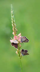 (marussia1205) Tags: бабочки голубянки лето butterfly summer macro