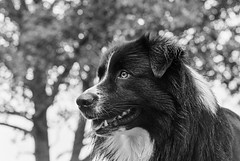 Rian 🐾 (unbunt.me) Tags: meinfilmlab nordfriesland film wwwmeinfilmlabde aussie blackwhite blackandwhite bw delta400 nikon dog 35mm hoffnungs ilford hund australianshepherd nikonfe2