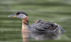 Red-necked Grebe (Peter Stahl Photography) Tags: redneckedgrebe grebe chick islelake
