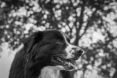 Rian 🐾 (unbunt.me) Tags: meinfilmlab nordfriesland analog wwwmeinfilmlabde aussie film nikonfe blackandwhite delta400 nikon blackwhite 35mm bw dog hoffnungs ilford hund australianshepherd nikonfe2