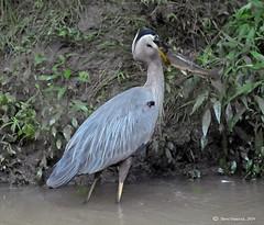 Blue Heron on Delta Boardwalk (Geo Scouter) Tags: wildwoodlake harrisburg pennsylvania